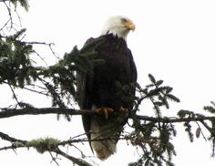 Bald Eagle at Hammond, Oregon
