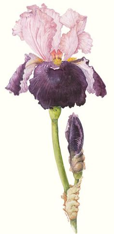 Iris - 'Pass the Wine' by Terry Napier. The Botanical Art Society of Australia Inc.