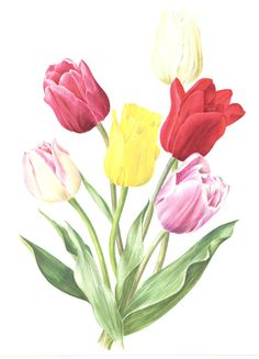 1972 Vintage tulip art floral watercolor by FrenchVintagePrints