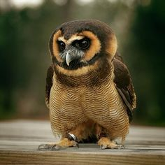 Asian Brown Wood Owl. This handsome old world owl inhabits parts of Asia including India, southern China, and Burma, and is distinguished by it saucer shaped face with light brown markings and thin horizontal chest bars.