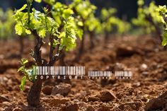 STORY OF A FRENCH GRAPEWINE