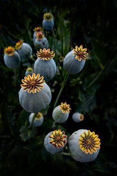Peter Daalder - Heads Up. Close up of Papaver Somniferum - opium poppies, grown in Tasmania