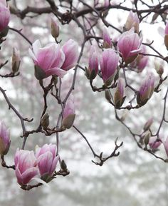 Cute saucer magnolia water needs for 2019