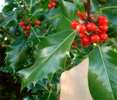 I love English Holly, looks beautiful trained into a tree. Previous pinner :English Holly (Ilex aquifolium or Ilex aquifolium Alaska)