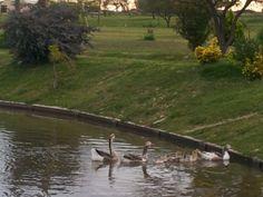 patos en los lagos