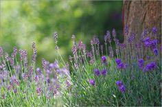 Sommer Lavendel Garten Idyll Bilder: Poster von Tanja Riedel bei Posterlounge.de