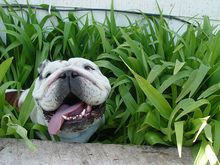 peeking bulldog