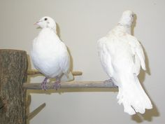 Dove - Ring Necked Bird Feathers, Wings, Animals, Animaux, Animal, Feathers, Animales, Animais