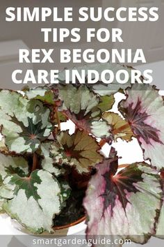 Rex begonia care indoors is considered tricky by some. This article gives you all the tips you need to successfully grow Rex begonia as a houseplant. House Plants Decor, Plant Decor, Garden Plants, Indoor Plants, Balcony Plants, Pot Plants, Succulents Garden, Smart Garden, Garden Care