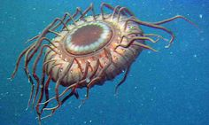 A deep-sea jellyfish - just one of 230,000 species in the 2010 census of marine life. Photograph: AFP/Getty Images