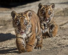 Todays Cuteness:) Tiger Cubs (by San Diego Zoo Global)