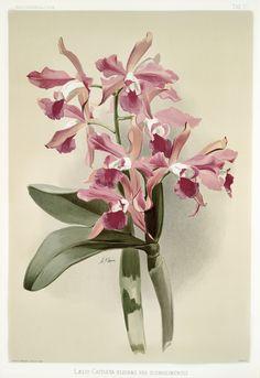 Free Public Domain | www.rawpixel.com | Lælio-cattleya elegans var blenheimensis from Reichenbachia Orchids (1888-1894) illustrated by Frederick Sander (1847-1920).