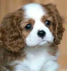 Absolutely lovely Cavalier puppy