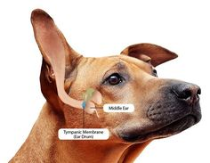 Our Top 5 Natural Remedies For Dog Ear Infections - Dogs Naturally Magazine Ear Infection Remedy, Dogs Ears Infection, Dog Ear Infection Medicine, Puppy Care, Pet Care, Ear Drops For Dogs, Cleaning Dogs Ears, Teeth Cleaning, Dog Ear Cleaner