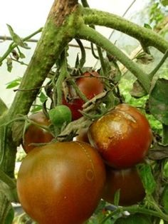 soigner le mildiou de la tomate
