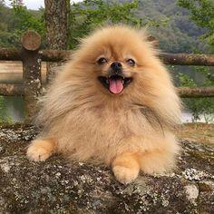 Adorable Little Fluffy Pomeranian Dog                                                                                                                                                                                 More