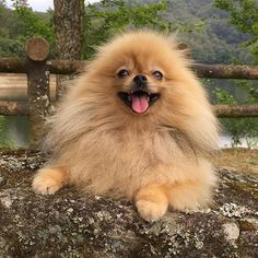Adorable Little Fluffy Pomeranian Dog