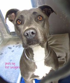A4749015 my name is Tara. I am a very friendly 3 yr old female gray/white pit bull mix. I came to the shelter as a stray on August 24. available 8/28/14 Baldwin Park shelter Open for Adoptions 7 days a Week 4275 Elton Street, Baldwin Park, California 91706 Phone 626 430 2378 Hours: Monday - Thursday 12 - 7 Friday - Sunday 10 - 5