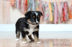 Mini Australian Shepard puppy. all I want out of life.
