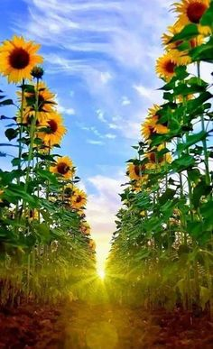 Sunflower and Sunrise Happy Flowers, Flowers Nature, Beautiful Flowers, Sunflowers And Daisies, Sunflower Pictures, Sunflower Wallpaper, Sunflower Fields, Sunflower Garden, Jolie Photo