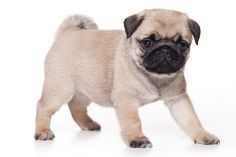 Pug Breed Information: Facts, Pictures, Temperament and Characteristics