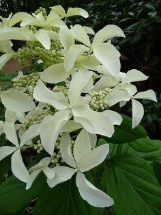 Hydrangea paniculata 'Great Star' http://www.pariscotejardin.fr/2013/09/hydrangea-paniculata-great-star/
