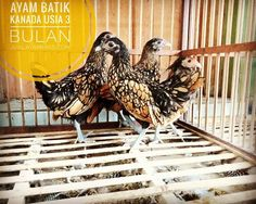 Ayam Batik Kanada Usia 3 Bulan dalam perjalanan Pesanan Bapak Asun di Jakarta .  .  .  .  .   Ayo pesan sekarang kami bisa mengirimkan ke seluruh Indonesia via Kargo hewan terpercaya. jualayamhias.com Kantor: Donoharjo Ngaglik Sleman Yogyakarta Kandang utama: Muntilan Magelang  TELKOMSEL : 0812 2028 8686 IM3 : 08564-772-3888 (Whatsapp) AXIS : 0838-6918-5523 LINE : 08564-772-3888 LINE ID : jualayamhias.com   #ayamhias #ternakunggas #ternakayam #ternakayamhias #ayam #backyardchicken #chicken…
