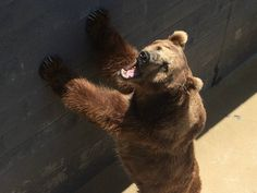 Please join us in calling on the USDA to do its job and ban bear pits now! Please click on photo to sign this petition for these poor bears.  Thank you,Ellie
