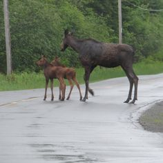 Our Maine Moose Watching guest Sue took this wonderful picture of twin moose calves with their momma moose on Thursday!
