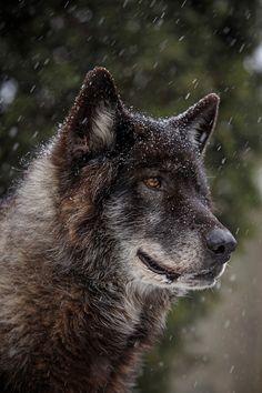 Grey wolf by Kristin Castenschiold