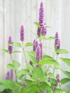 Hyssop is one of my favorites, 3ft wide & 5 ft tall. Loves the sun. Attracts hummingbirds, butterflies, and bumble bees! Lasts all summer long. Cut it back to about 3 inches in the late fall.