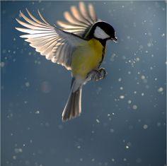 Mésange charbonnière --- Visit our shop here --- Pretty Birds, Love Birds, Beautiful Birds, Animals Beautiful, Beautiful Things, Flying Photography, Animal Photography, Tattoo Photography, White Photography