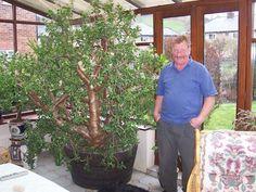 27 Year old Crassula Ovata; Cacti And Succulents, Planting Succulents, Planting Flowers, Crassula Ovata, Jade Plant Care, Echeveria, Jade Tree, Lucky Plant, Garden Cafe