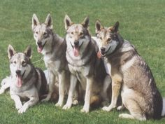 A Pack of Saarloos Wolfhounds - Desktop Nexus Wallpapers Saarloos, Rare Dogs, Think Happy Thoughts, Crazy Dog Lady, Dog Wallpaper, Wolfhound, Beautiful Dogs, I Love Dogs, Dog Breeds
