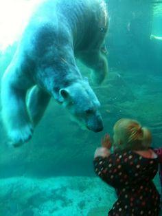 MEMPHIS ZOO: Polar bears at Memphis zoo