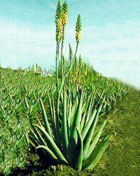 L'Aloé Vera est une plante qui appartient à la famille des liliacées, famille commune notamment à l'ail, la tulipe, le lys, l'asperge…  http://www.aloemediterranee.com/planteAloe.html