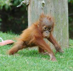 baby orangutan | Baby Orangutan Chester Zoo