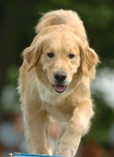 Golden Retriever dogs easy and fun training puppies. Responds well to treat and clicker training.