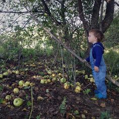 We can not keep up with this year's uber-apple crop. Even with extra helpers... #apple #orchard #soVT #vt #vermont #farmkids