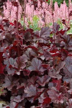 heuchera obsidian - Google Search