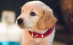 4k, labrador, muzzle, golden retriever, puppy, small labrador, cute animals