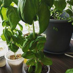 Dyrk mengder med nesten gratis #basilikum hjemme på kjøkkenbenken, sjekk hvordan her https://youtu.be/2dxKsn-0pfU eller gå via bloggen matfrabunnen.no #basil #matfrabunnen #hjemmelaget #frajordtilbord #grow #green