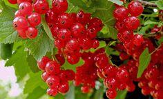 Johannisbeersträucher brauchen kaum Pflege und sind wegen ihrer geringen Wuchshöhe ideal für kleine Gärten. Kein Wunder, dass die süßsäuerlichen, aromatischen Beeren unter Hobbygärtnern eine große Fangemeinde haben.