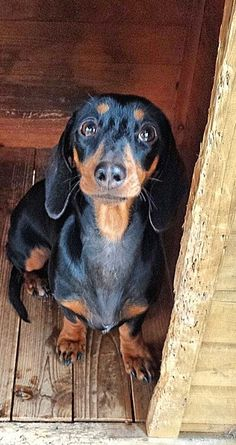 """No one's home and I can't let you in!"" #dogs #pets #Dachshunds…"
