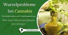 Starke Wurzeln bedeuten eine gesund wachsende und gedeihende Cannabis-Pflanze. Je nach Cannabis-Sorte kann es wahrscheinlicher oder unwahrscheinlicher sein, dass Probleme bei den Wurzeln auftreten. Wenn Sie die Wurzeln gut pflegen bzw. behandeln, entwickelt sich eine gesunde und glückliche Pflanze, was genau das ist, was Sie wollen. In diesem Beitrag erfahren Sie, wie Sie Wurzelprobleme bei Cannabis-Pflanzen identifizieren und verhindern können.