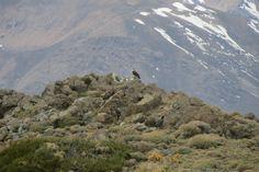 El halcón peregrino (Falco peregrinus) es una especie de ave falconiforme de la familia Falconidae de distribución cosmopolita.