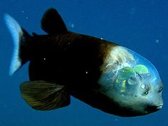 For the first time, a live Pacific barreleye fish—complete with transparent head—has been caught on video. The deep-sea fish's tubular eyes pivot under a clear dome. --Published February 24, 2009