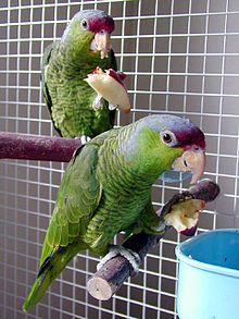 These two are Lilac Crowned Amazon's.  I've only seen one in Wichita but he was a beauty. They are  a medium sized Parrot. They are from the San Gabriel Mountains in Mexico, and they have feral populations in several Southern California counties.