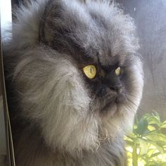 Colonel Meow Loses Bid For Total World Domination  ... from PetsLady.com ... The FUN site for Animal Lovers