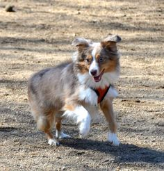 """#USATODAY : Canine Einstein: Teach your dog some new tricks — for his own good. Stanley Coren and Andrea Arden, an expert on @AnimalPlanet 's Dogs 101, recommend """"brain games."""" Here are some of their favorites: #dogs #dogtricks #dogtraining #dogbehavior #cognition"""